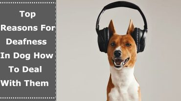 Deafness in Dog