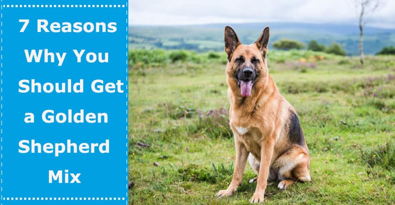 7 Reasons Why You Should Get A German Shepherd And Golden Retriever