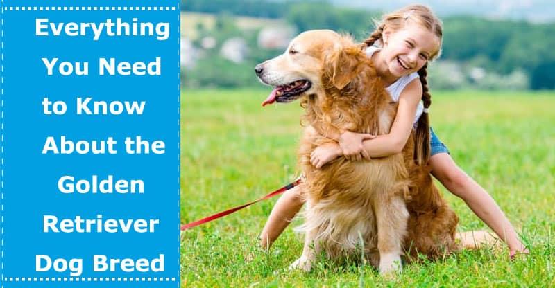 breed of golden retriever