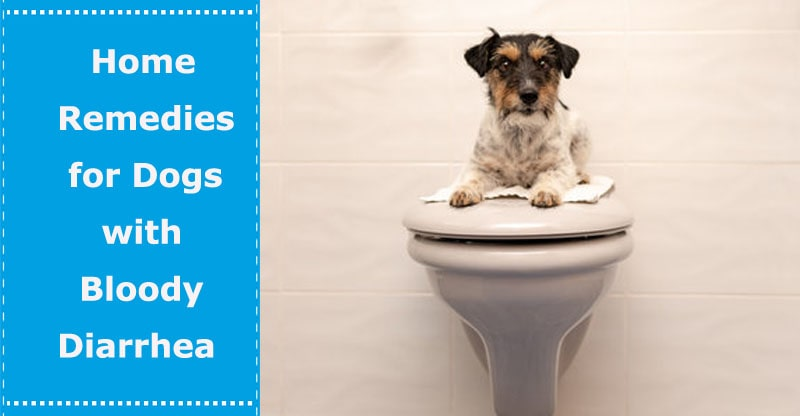 dog with bloody diarrhea home remedy