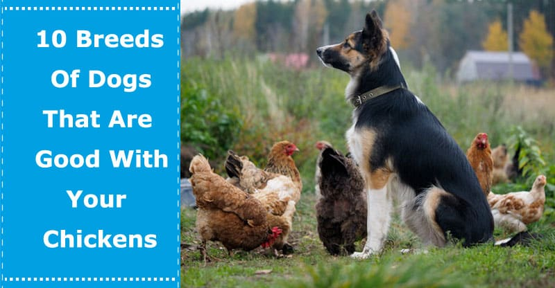 dogs that are good with chickens