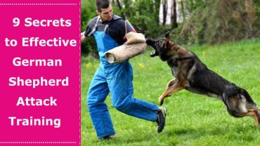 german shepherd attack training