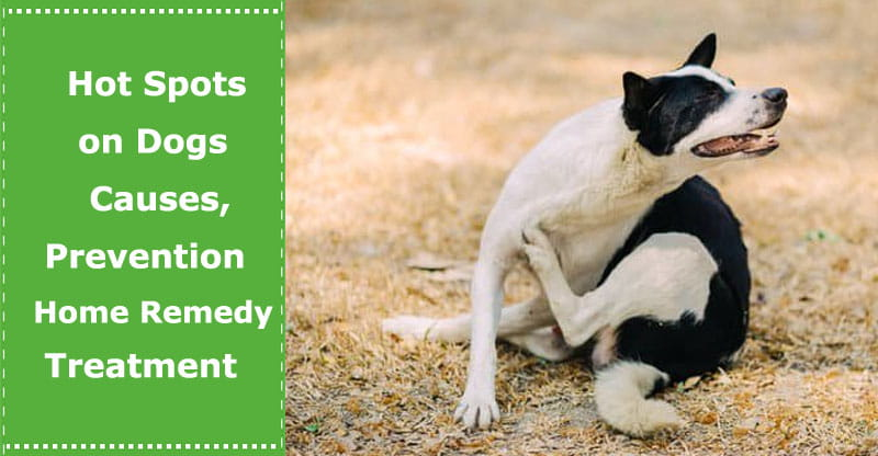 Hot Spots On Dogs Causes Prevention And Home Remedy