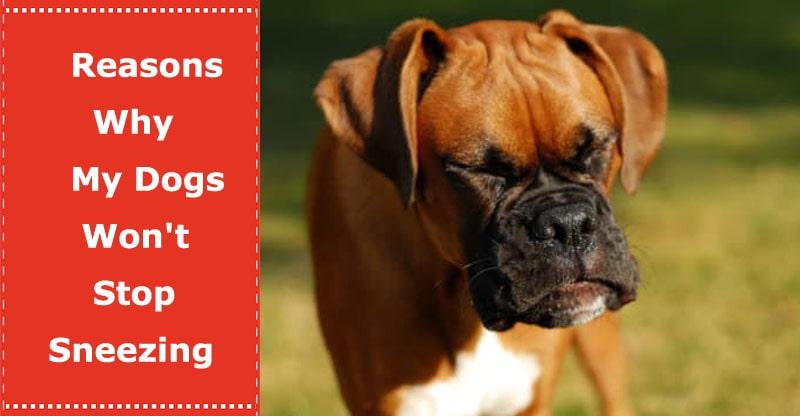 my dog won't stop sneezing
