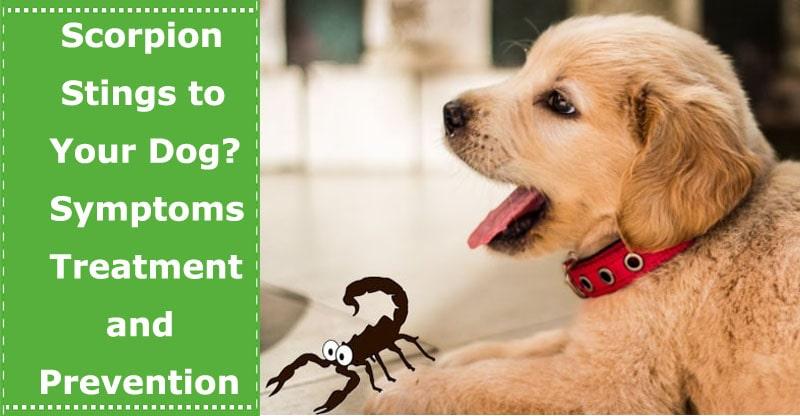 scorpion sting to dog symptoms treatment