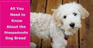 Sheepadoodle Dog Breed