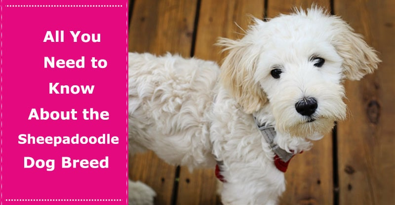 Sheepadoodle Dog Breed