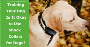 training dog with shock collar