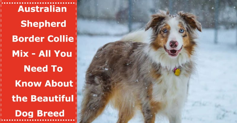australian shepherd border collie mix