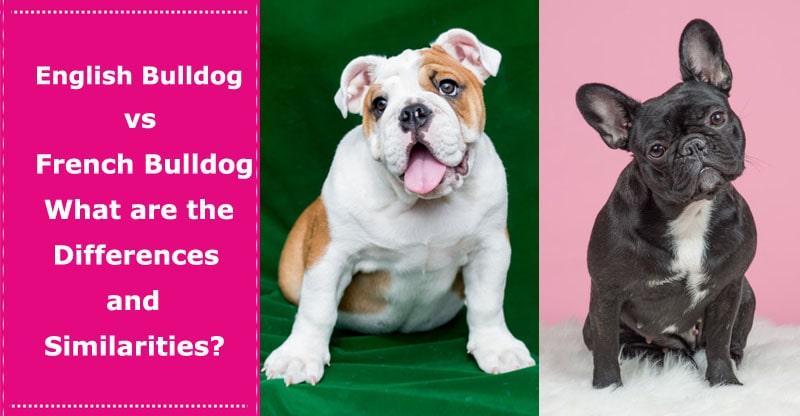 english bulldog vs french bulldog