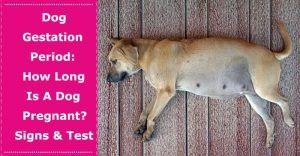 how long is a dog pregnant for