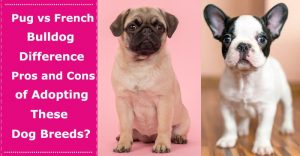 pug vs french bulldog