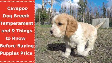 cavapoo hypoallergenic dog breed