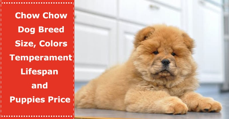 Chow Dog Breed Size Colors