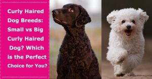 curly haired dog breeds