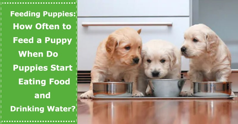 how often to feed a puppy