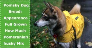 pomsky-dog-breed