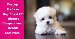 teacup maltese dog breed
