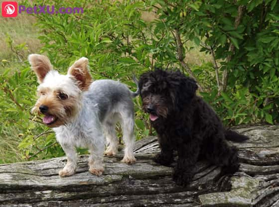 Yorkie Poo Dog Breed: Appearance Temperament Training & Care