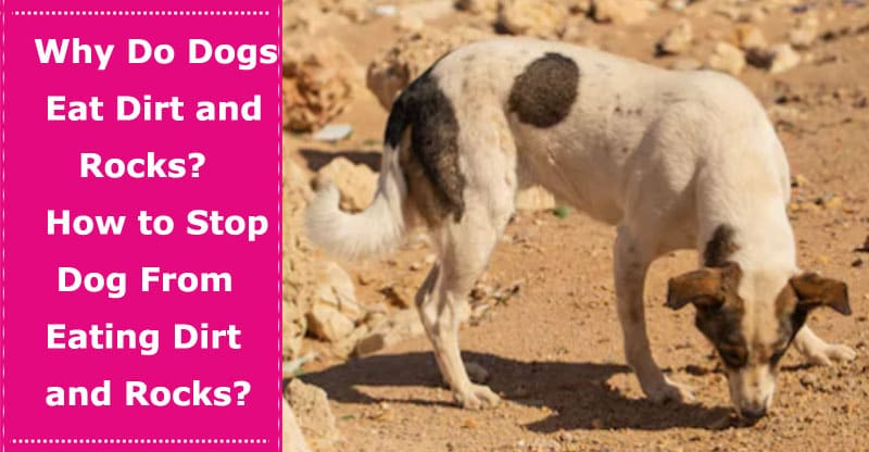 why do dogs eat dirt and rocks