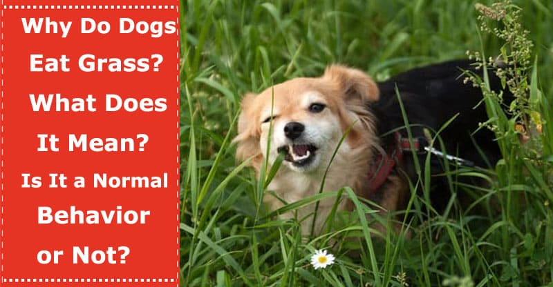 why do dogs eat grass what does it mean