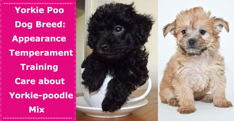 Yorkie Poo Dog Breed Earance