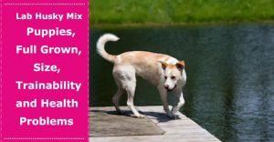 lab husky mix