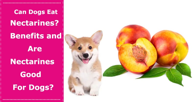 can dogs eat nectarines